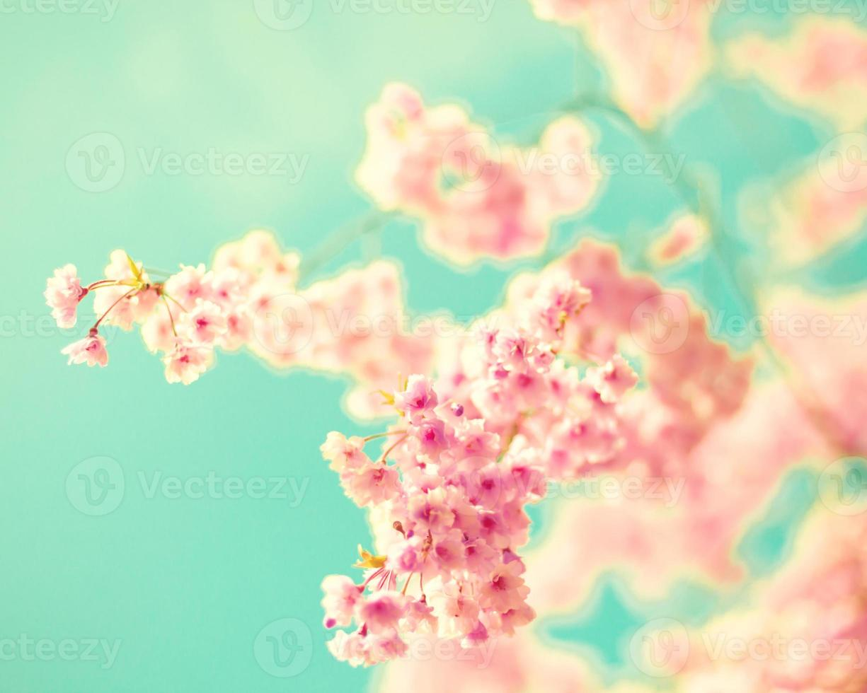 Pink Cherry Blossoms photo