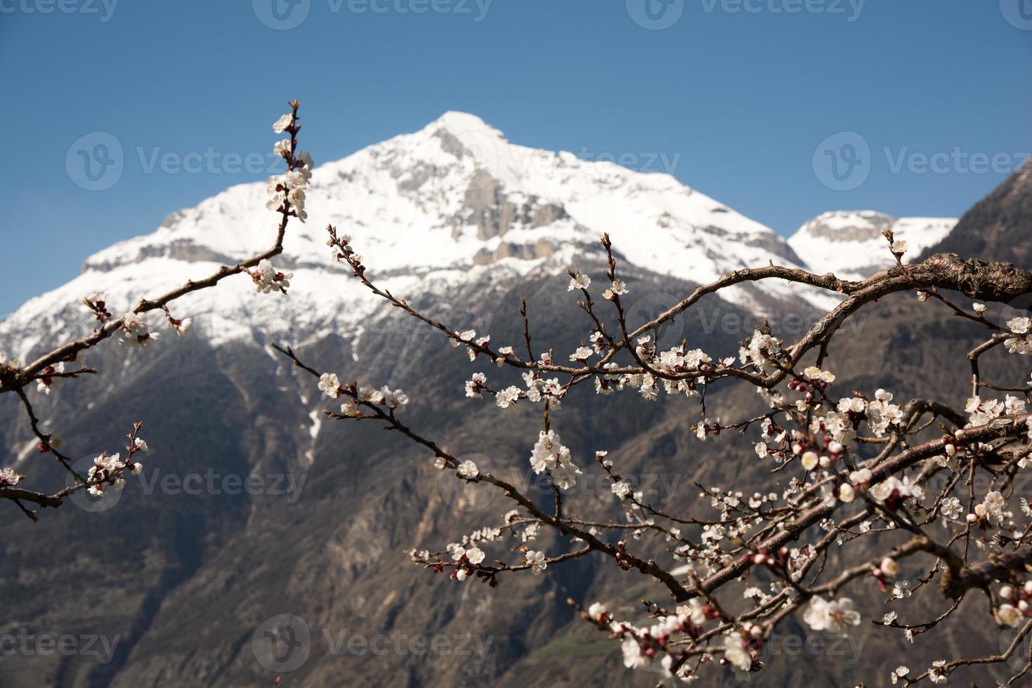Fleurs d'abricotiers photo