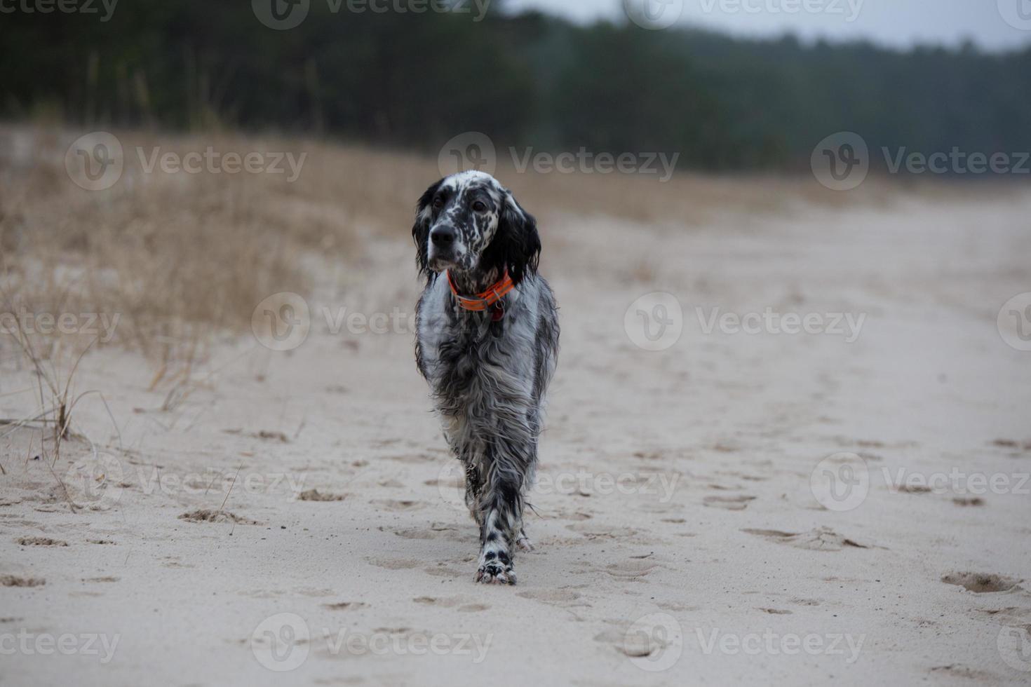 cane che cammina sulla spiaggia foto