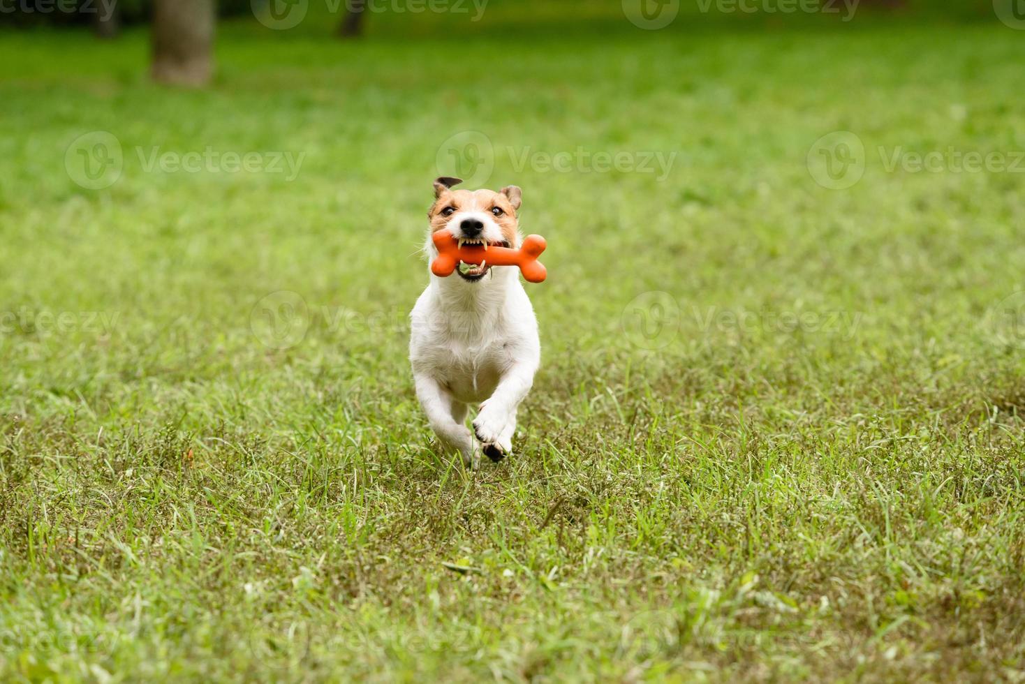 Hund läuft mit Knochen an den Zähnen. foto