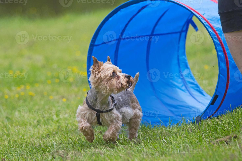 yorkshire terrier bij de behendigheidscompetitie. foto