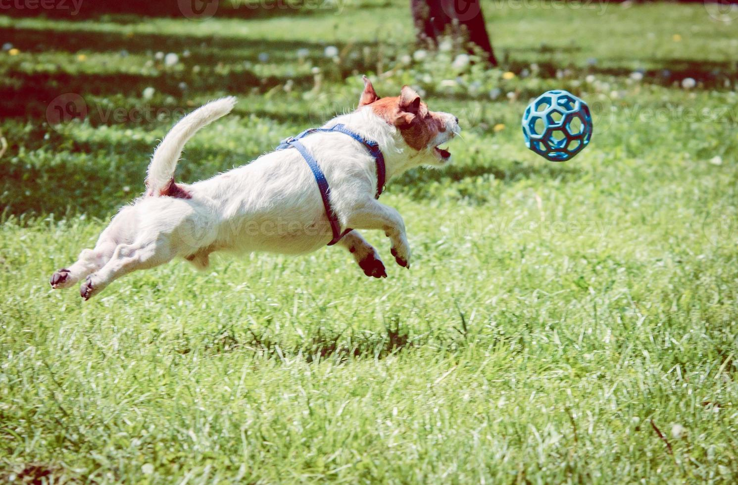 Dog playing with a ball photo