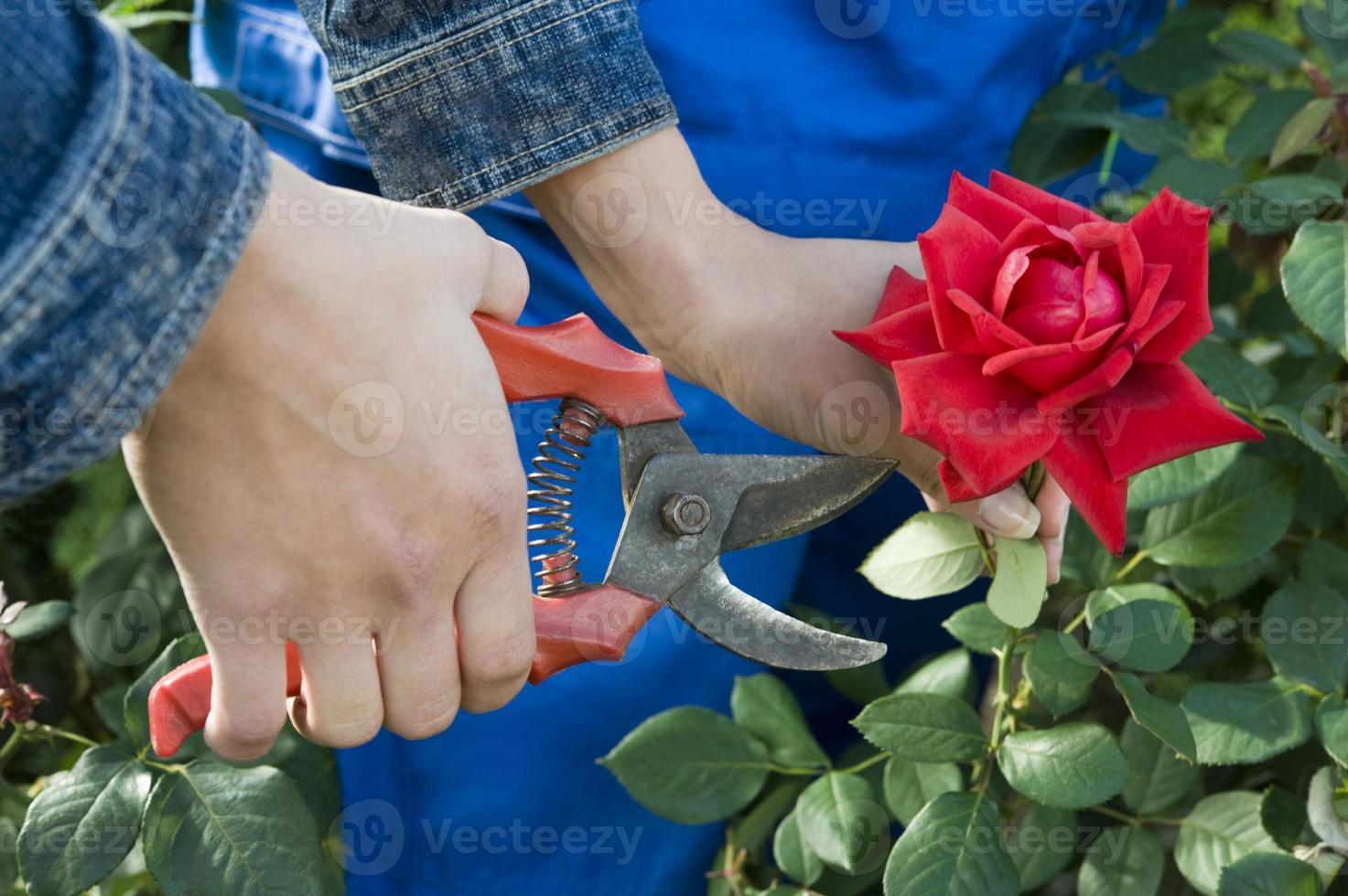 close-up van een tuinman een rode roos snijden foto