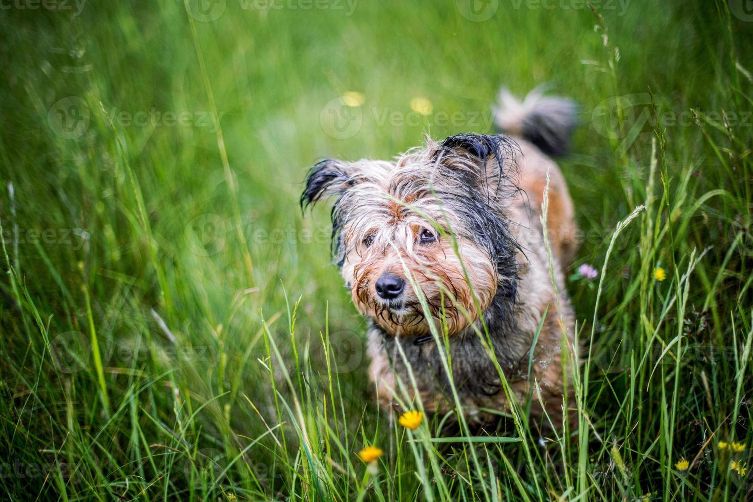 cane felice sull'erba foto