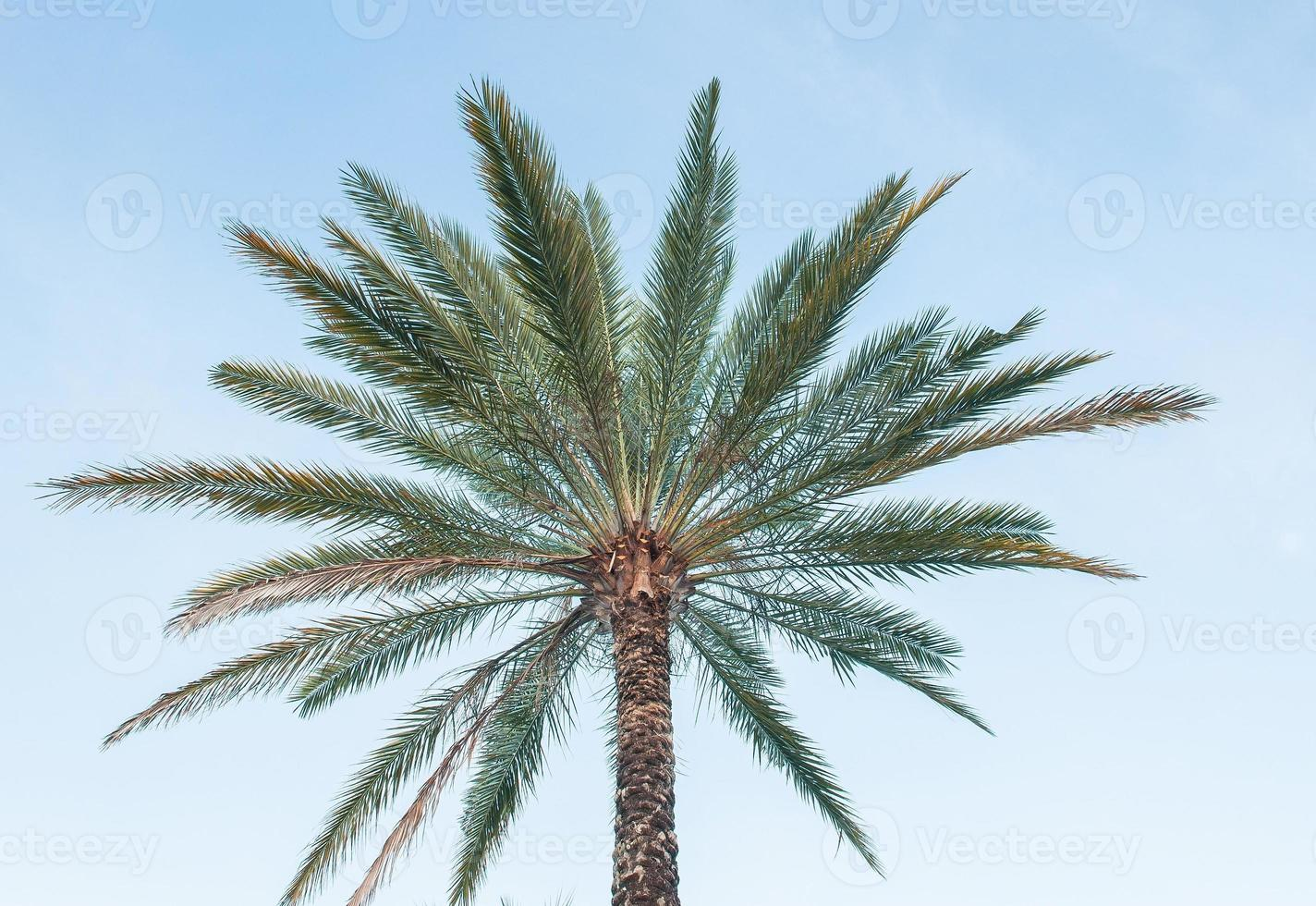 PalmTree with blue sky photo