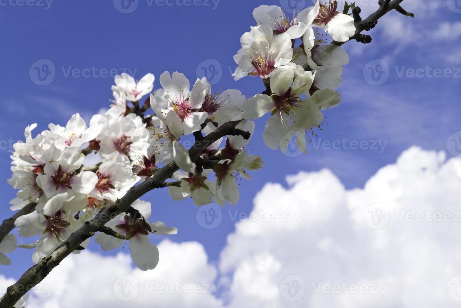 fleur d'amande et ciel. photo