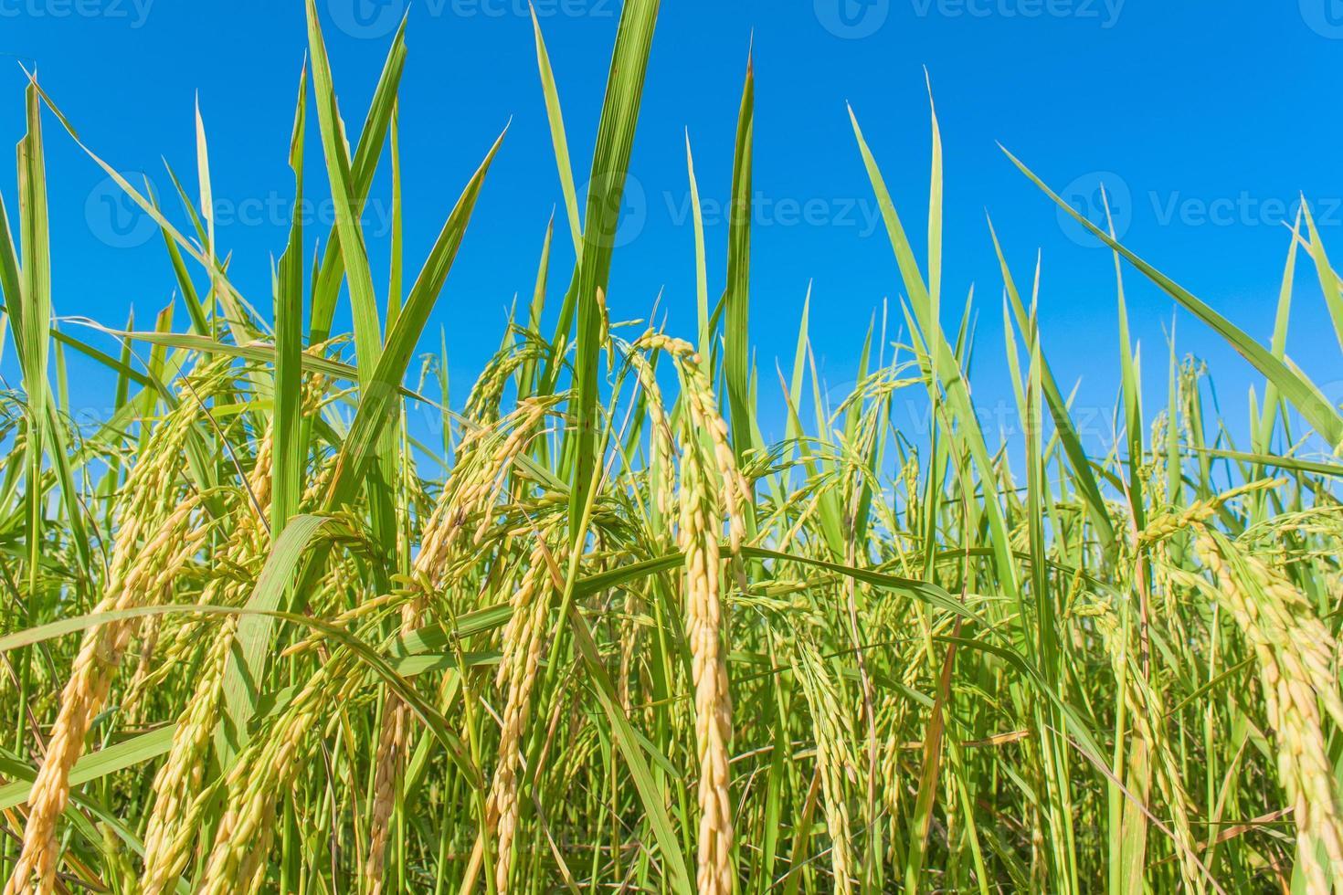 campo de arroz y cielos foto