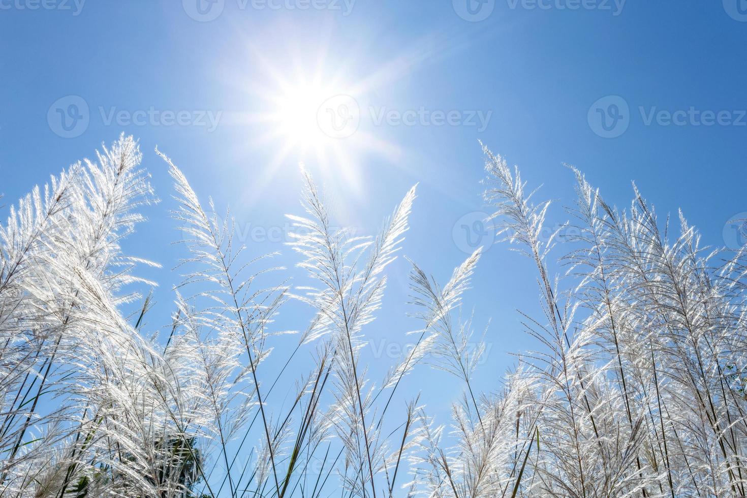 cañas blancas y cielo azul foto