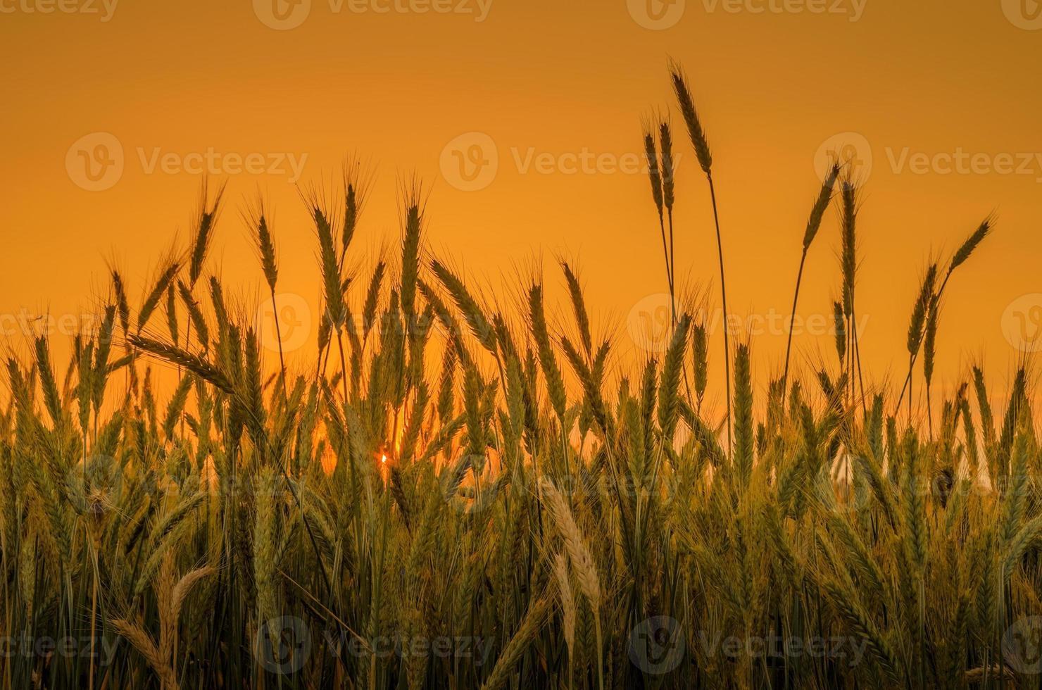 wheat on orange sky background photo