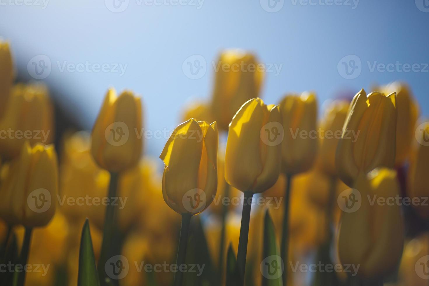 Yellow Tulips against blue sky photo