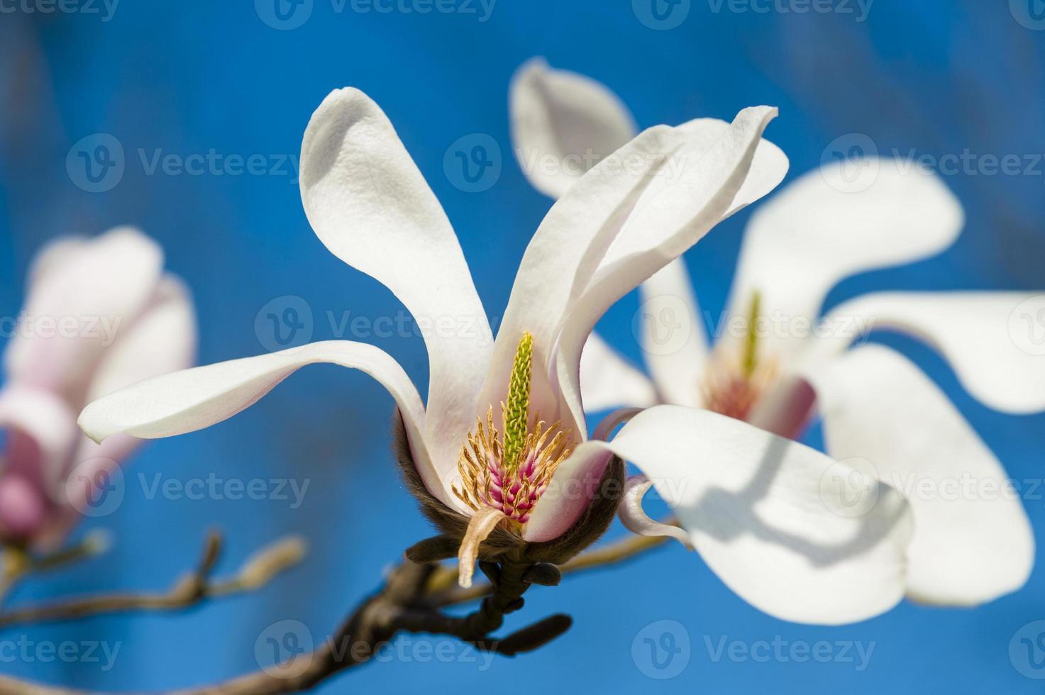 bloeiende magnoliaboom tegen blauwe hemel foto