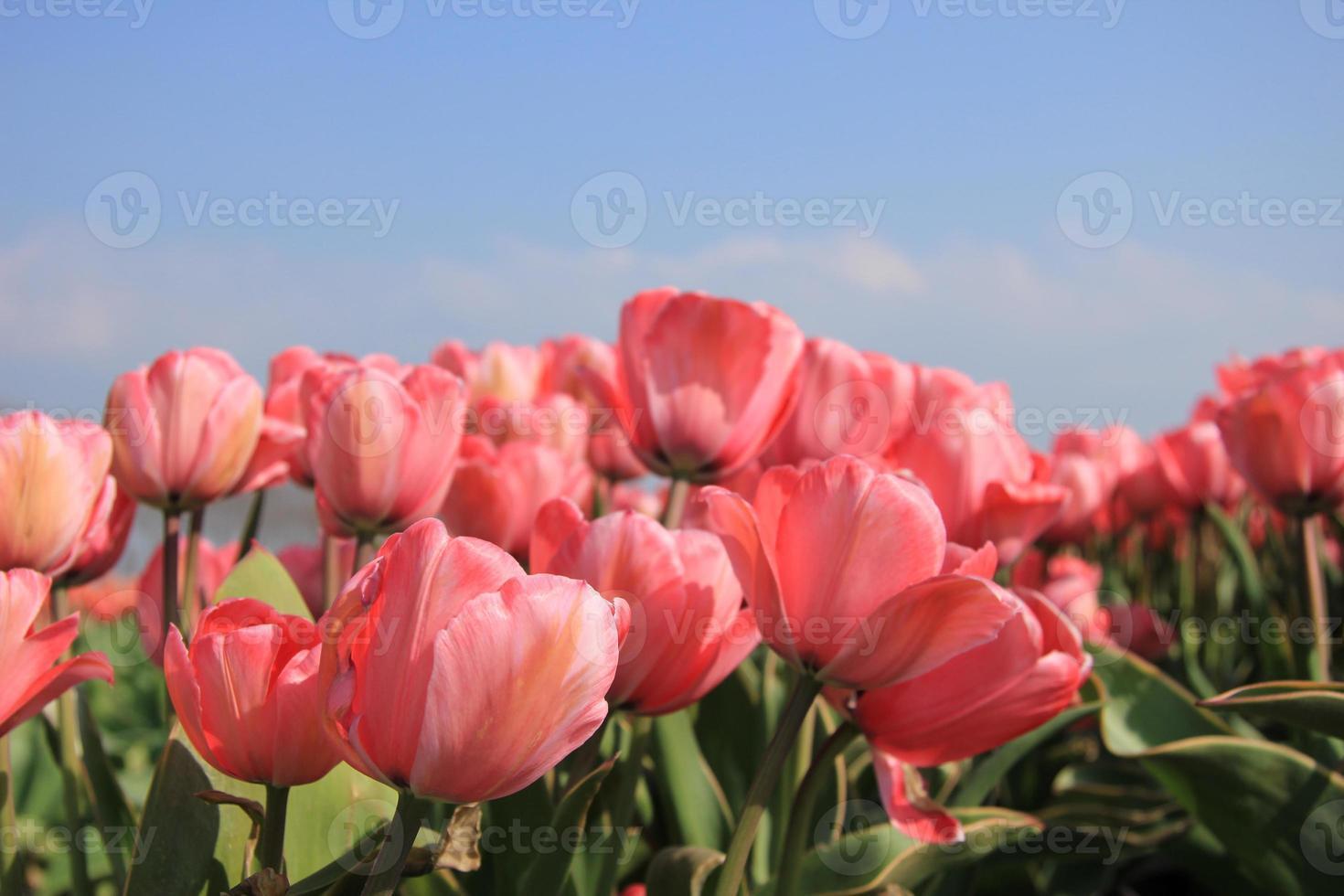 tulipanes rosados y un cielo azul foto