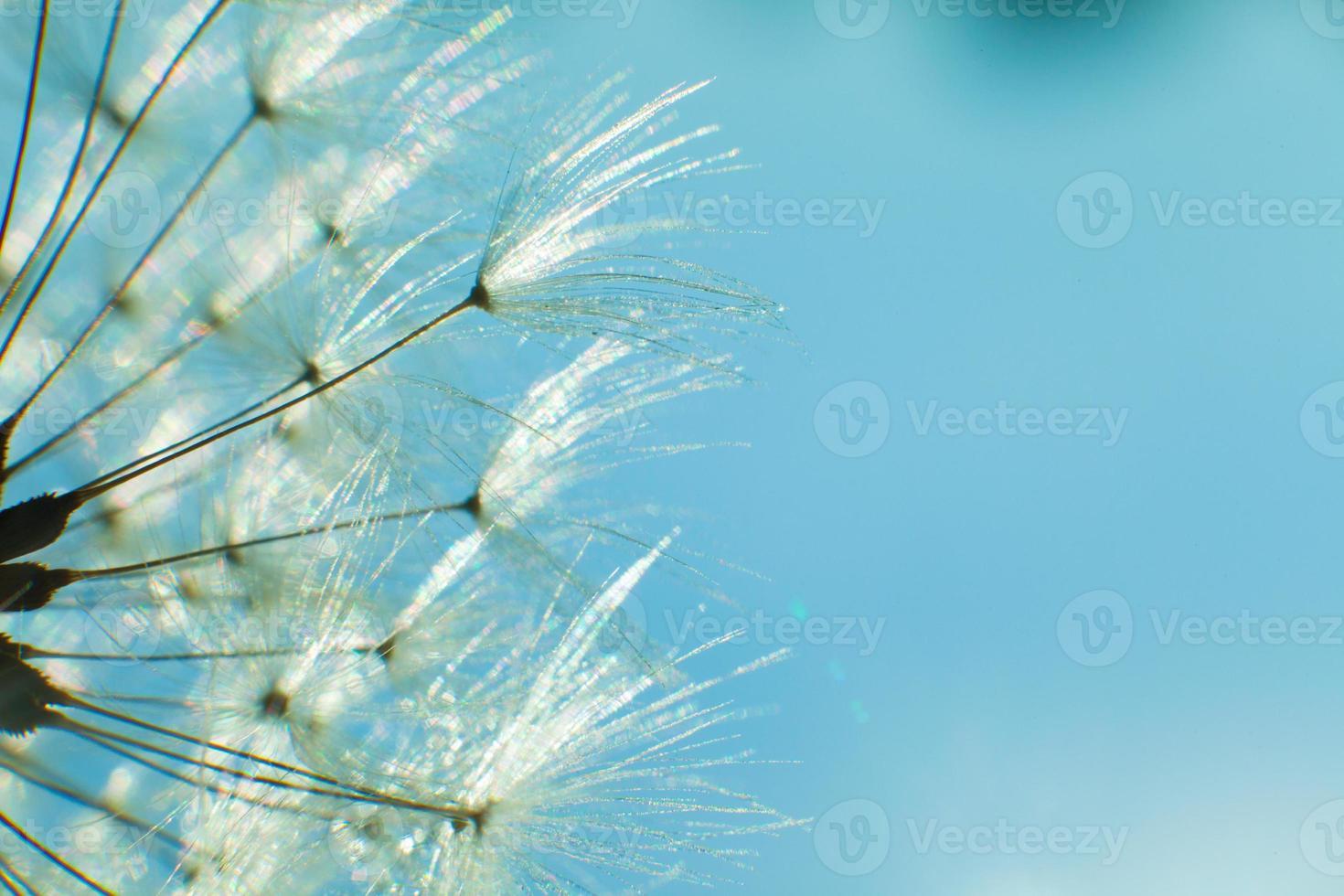 Diente de león y semillas en el cielo azul foto