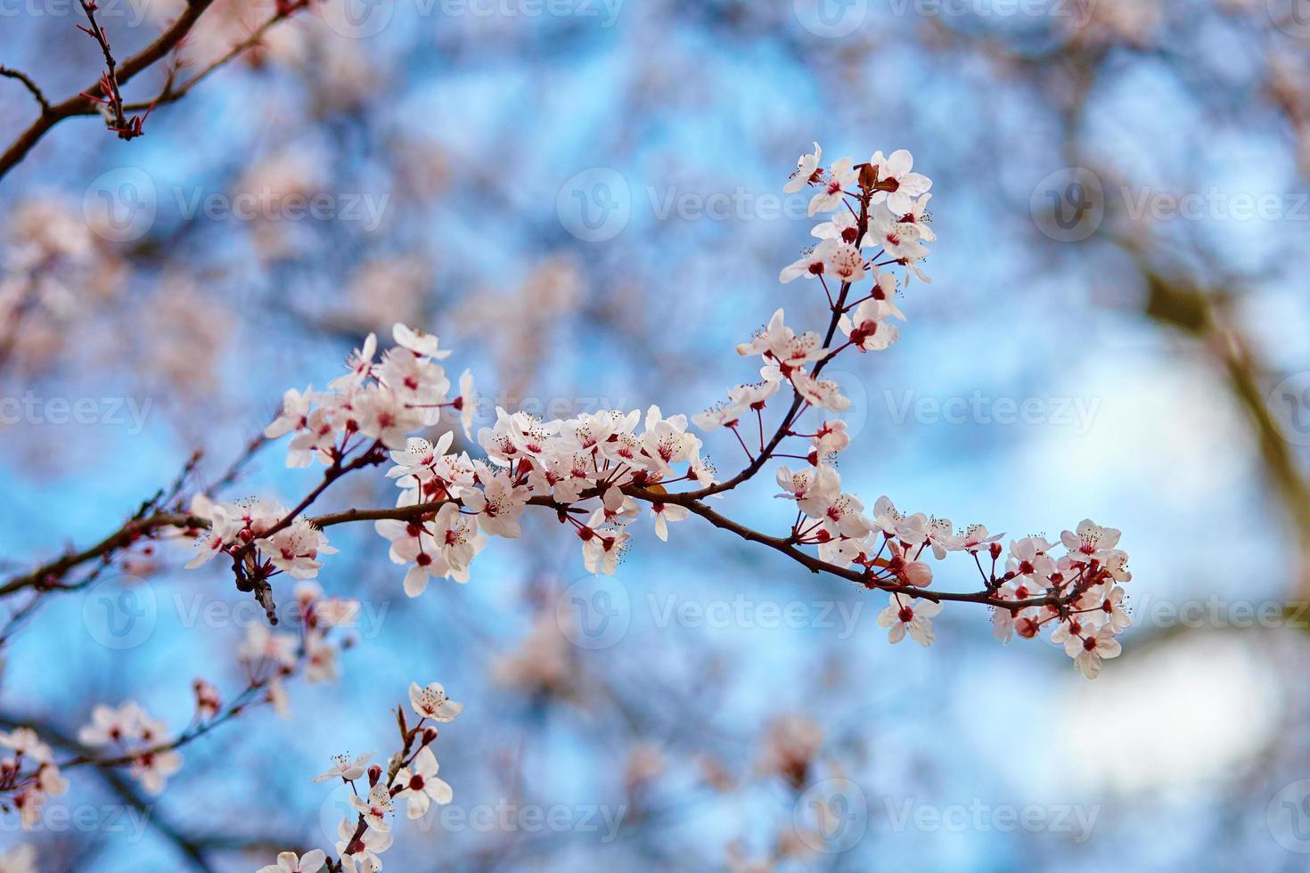 flores de cerezo contra el cielo azul foto