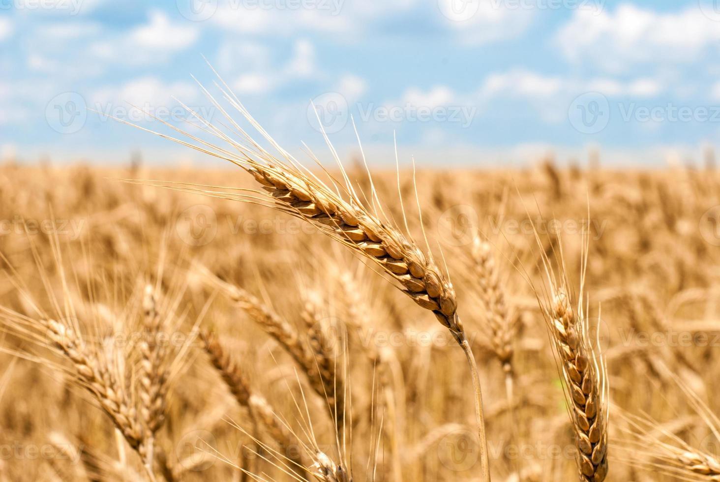 campo de trigo y cielo paisaje de verano foto