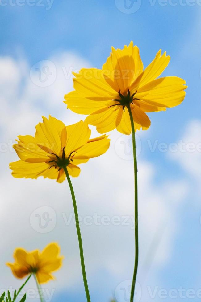 Yellow Cosmos on blue sky background photo