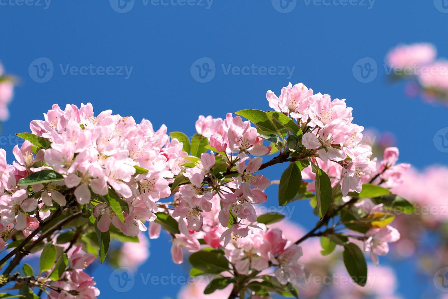 Pink blossoms against a blue sky photo