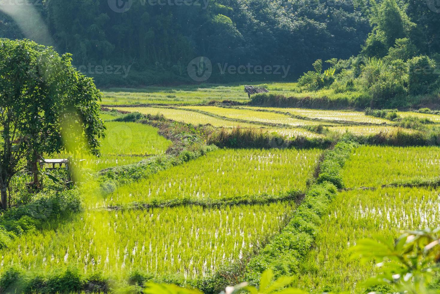 arroz archivado cielo azul cabaña de madera foto