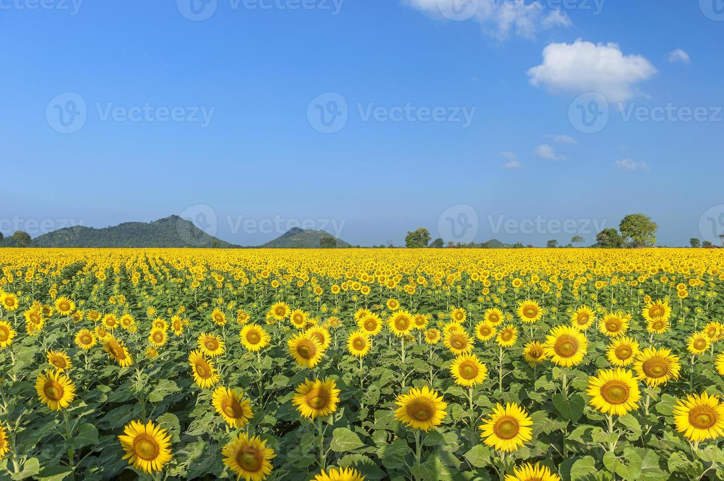 Blooming field of sunflowers on blue sky photo