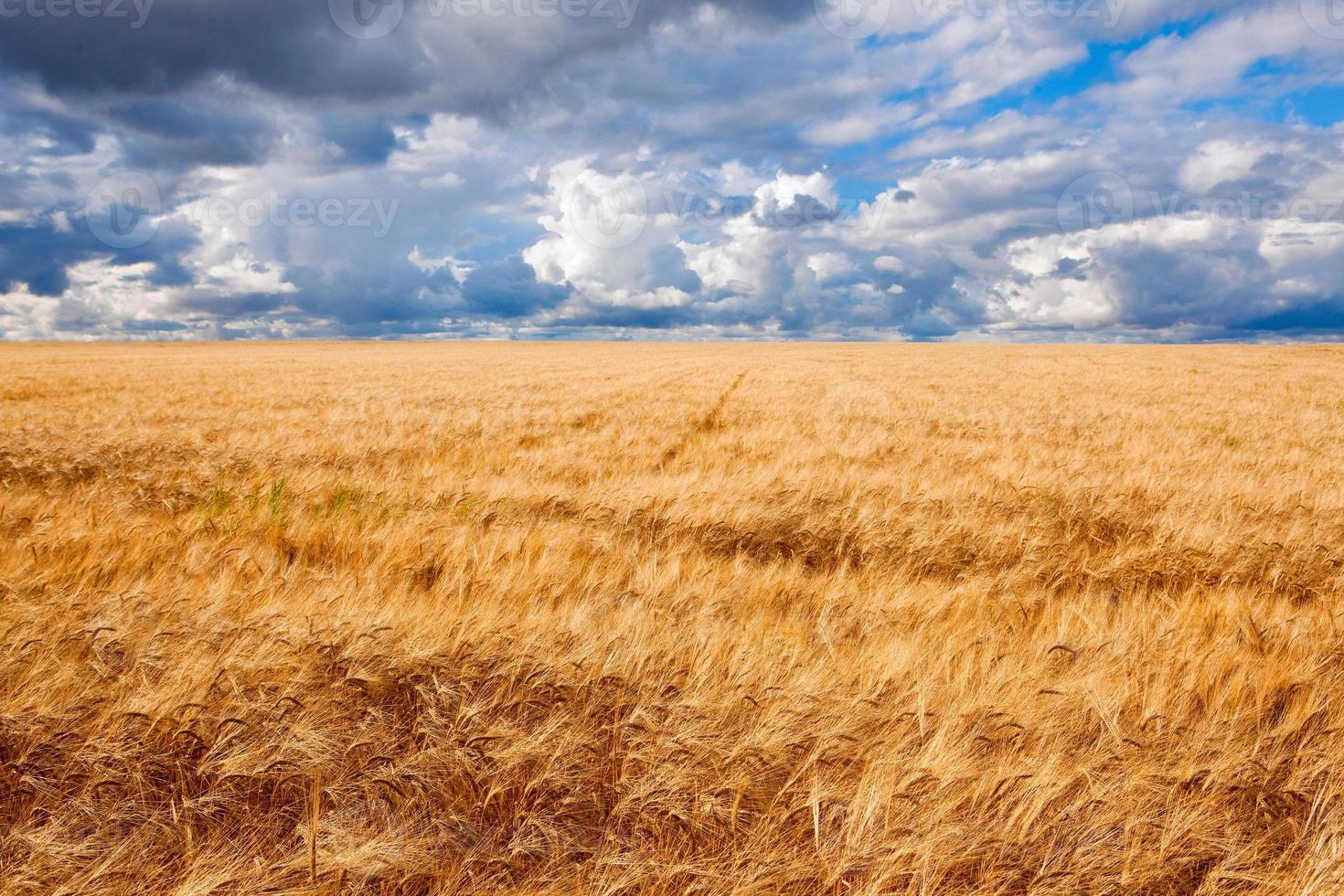 Field of wheat dramatic cloudy blue sky photo