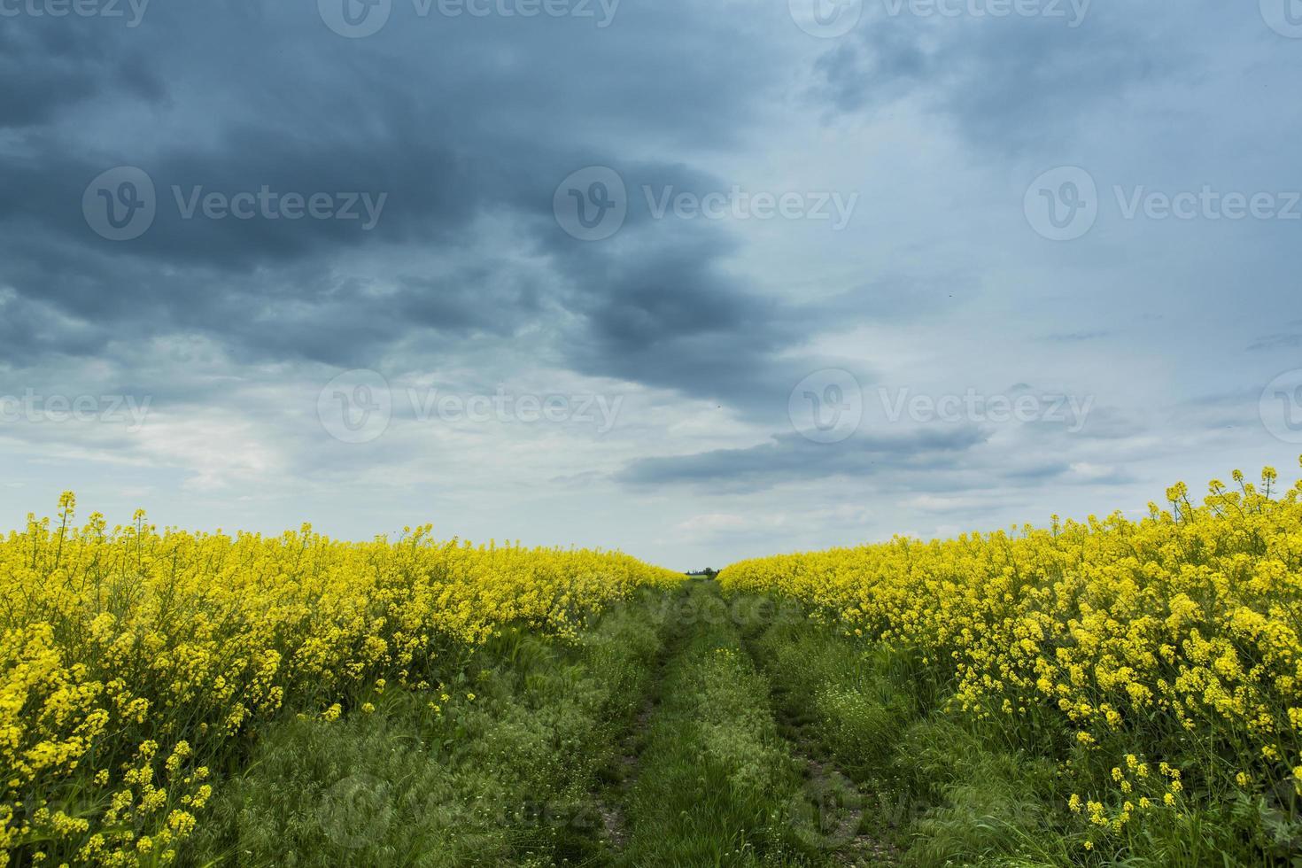 campos de canola en primavera y hermoso cielo foto