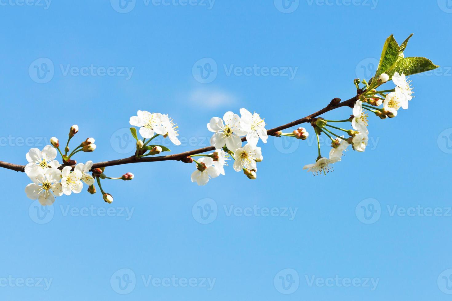 Ramita de cerezos en flor en el cielo azul foto