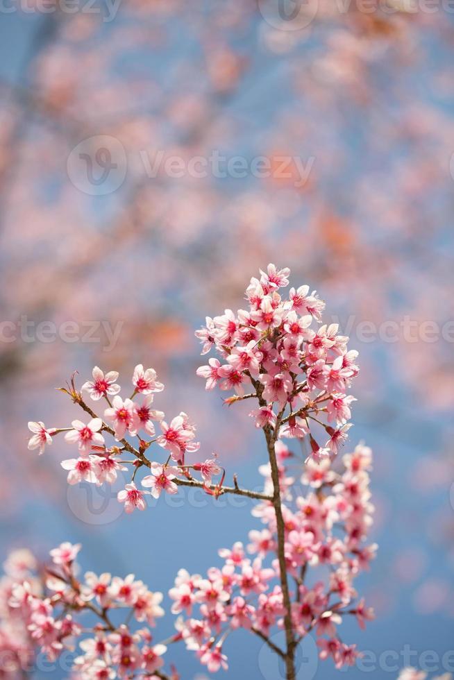 sakura floreciendo bajo el sol y el cielo azul foto