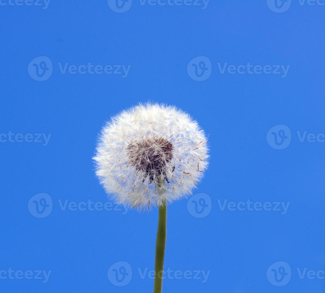 diente de león en la primavera contra el cielo azul foto