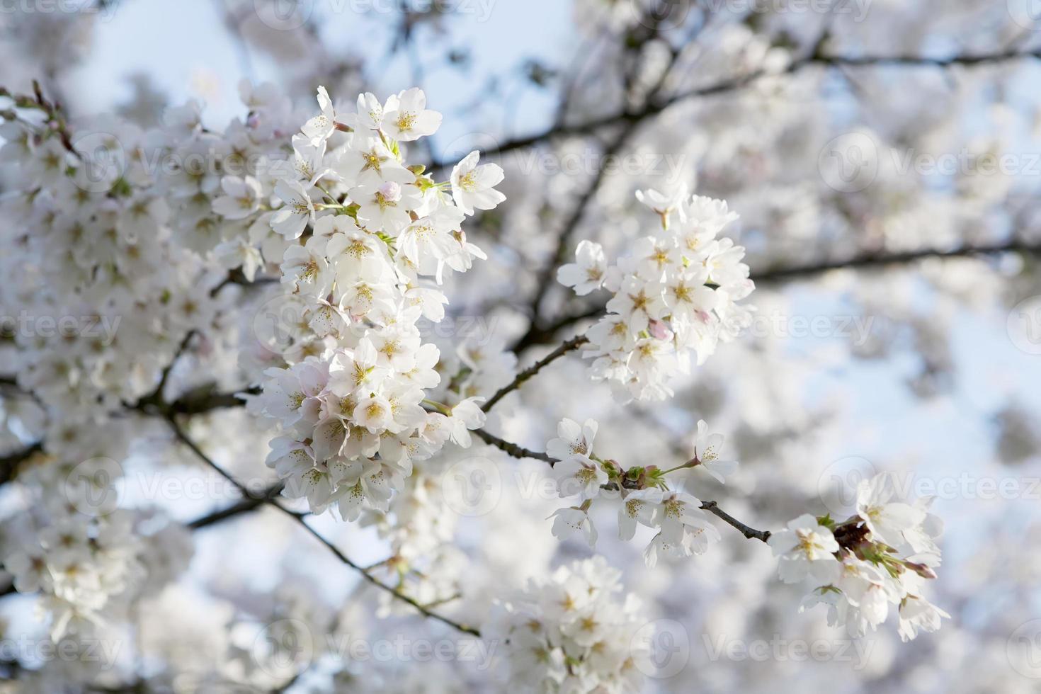 Rosa flor de cerezo (Prunus serrulata) contra el cielo azul foto