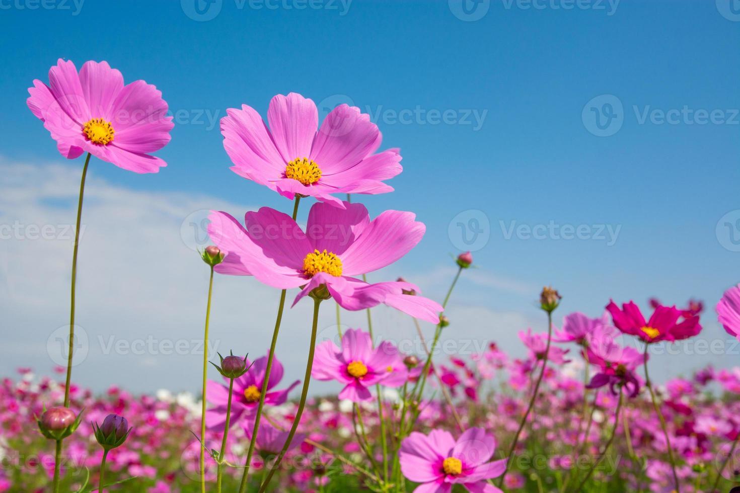 flor del cosmos con cielo azul foto