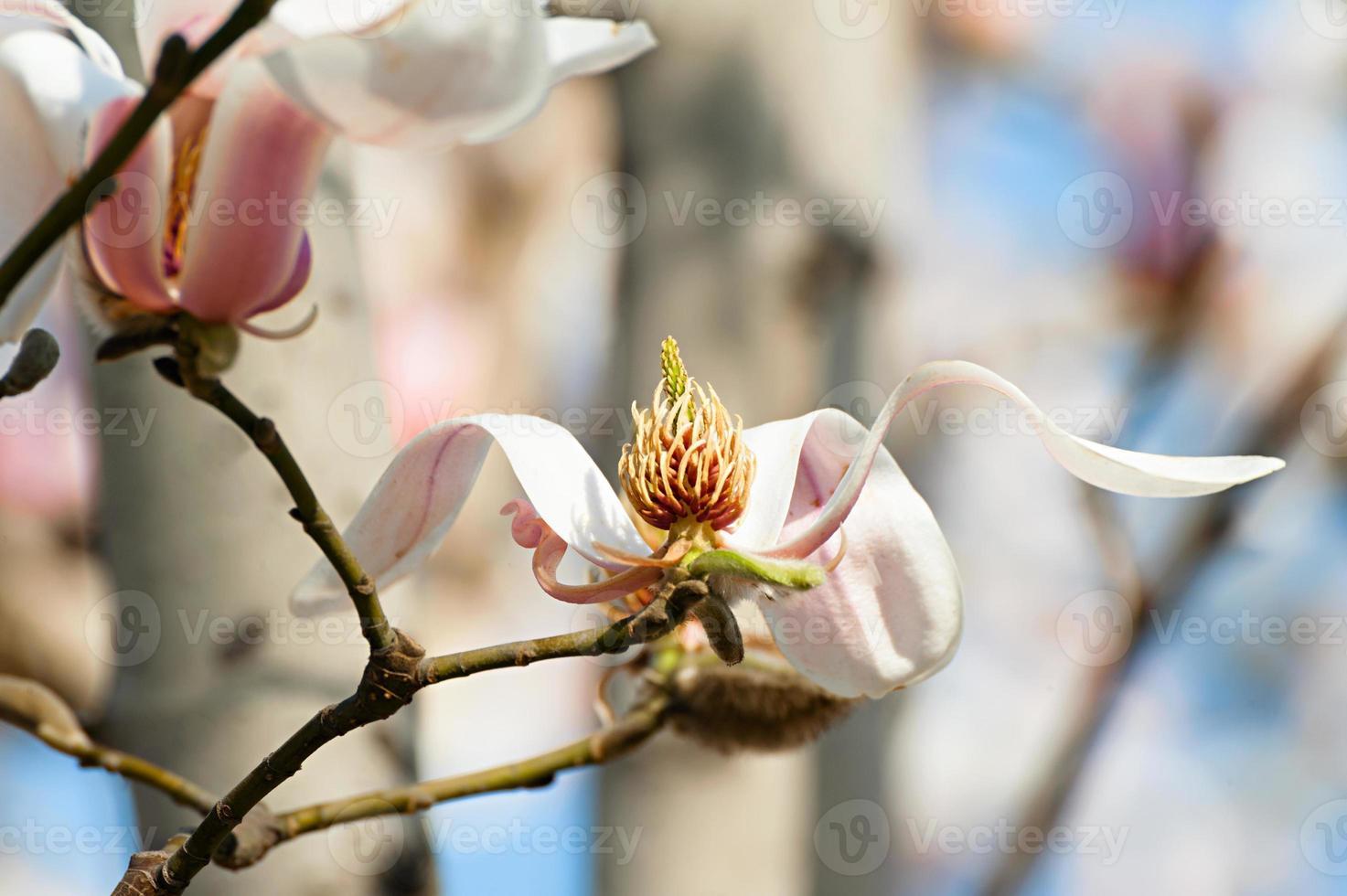 Magnolia floreciente contra el cielo azul foto