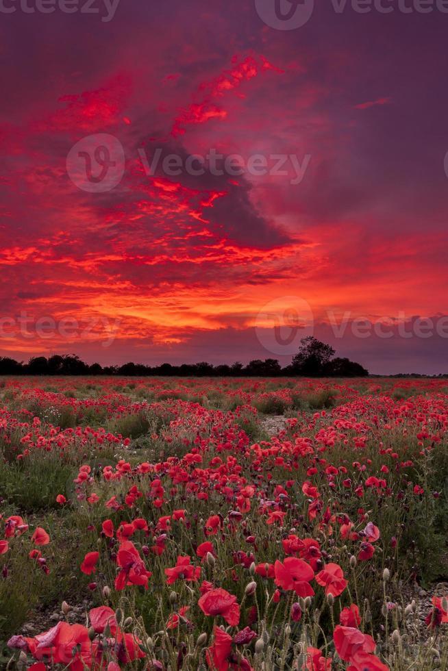 campo de amapolas bajo un cielo ardiente foto