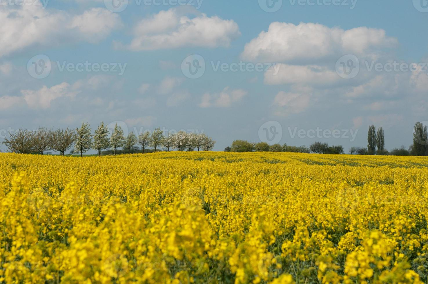 Rapeseed flowers with blue sky and clouds. photo