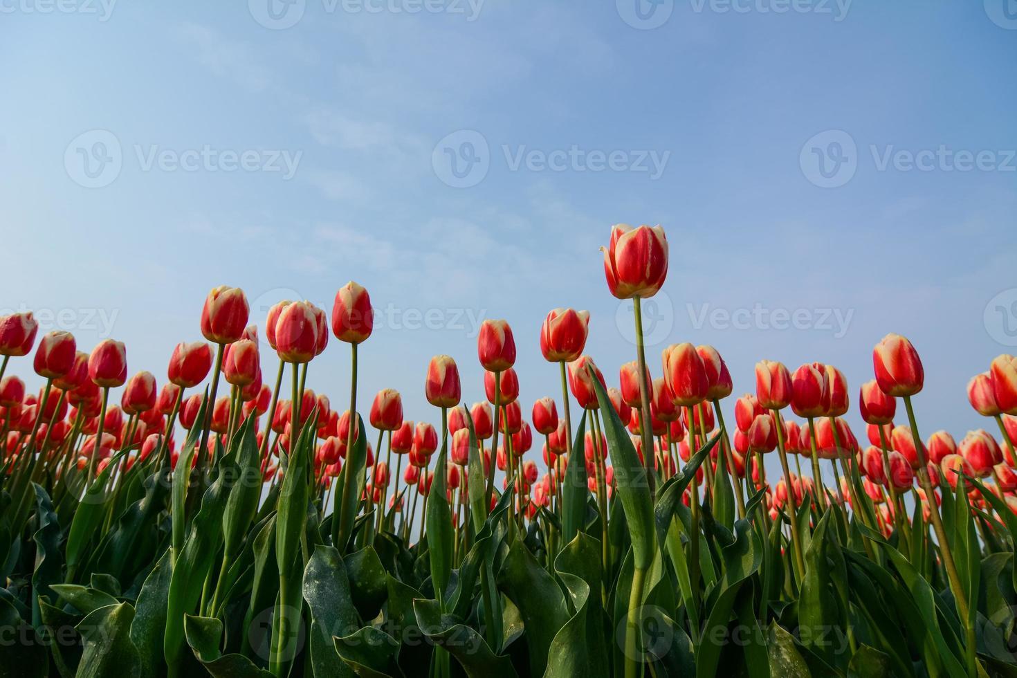 campo de tulipanes con un cielo azul foto