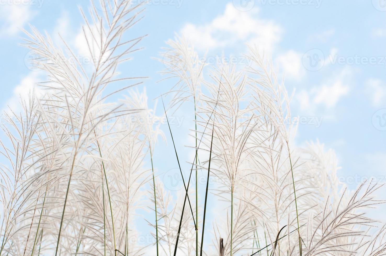 Flor de hierba grisácea borrosa en el cielo azul foto