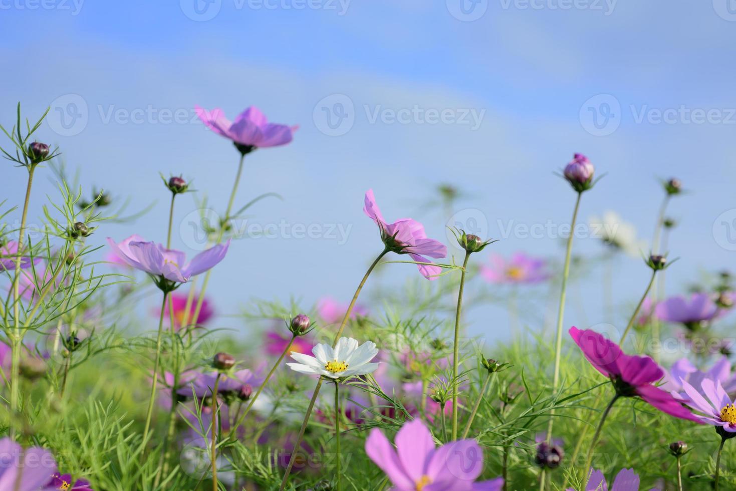 hermosas flores rosadas y cielo azul foto