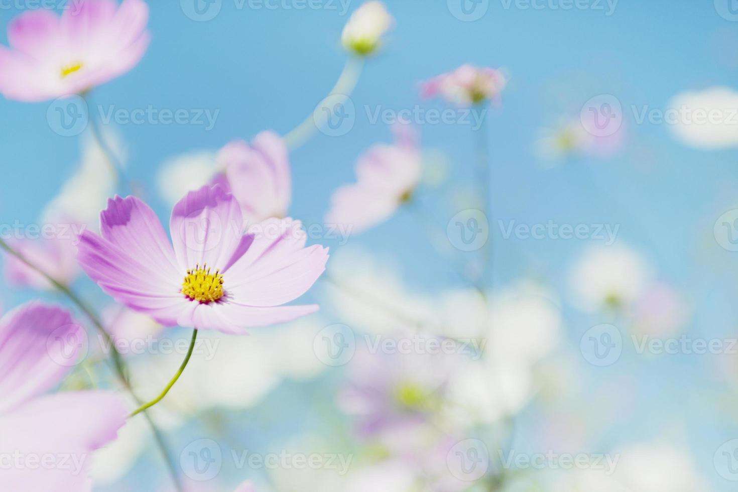 Cosmos and blue sky photo