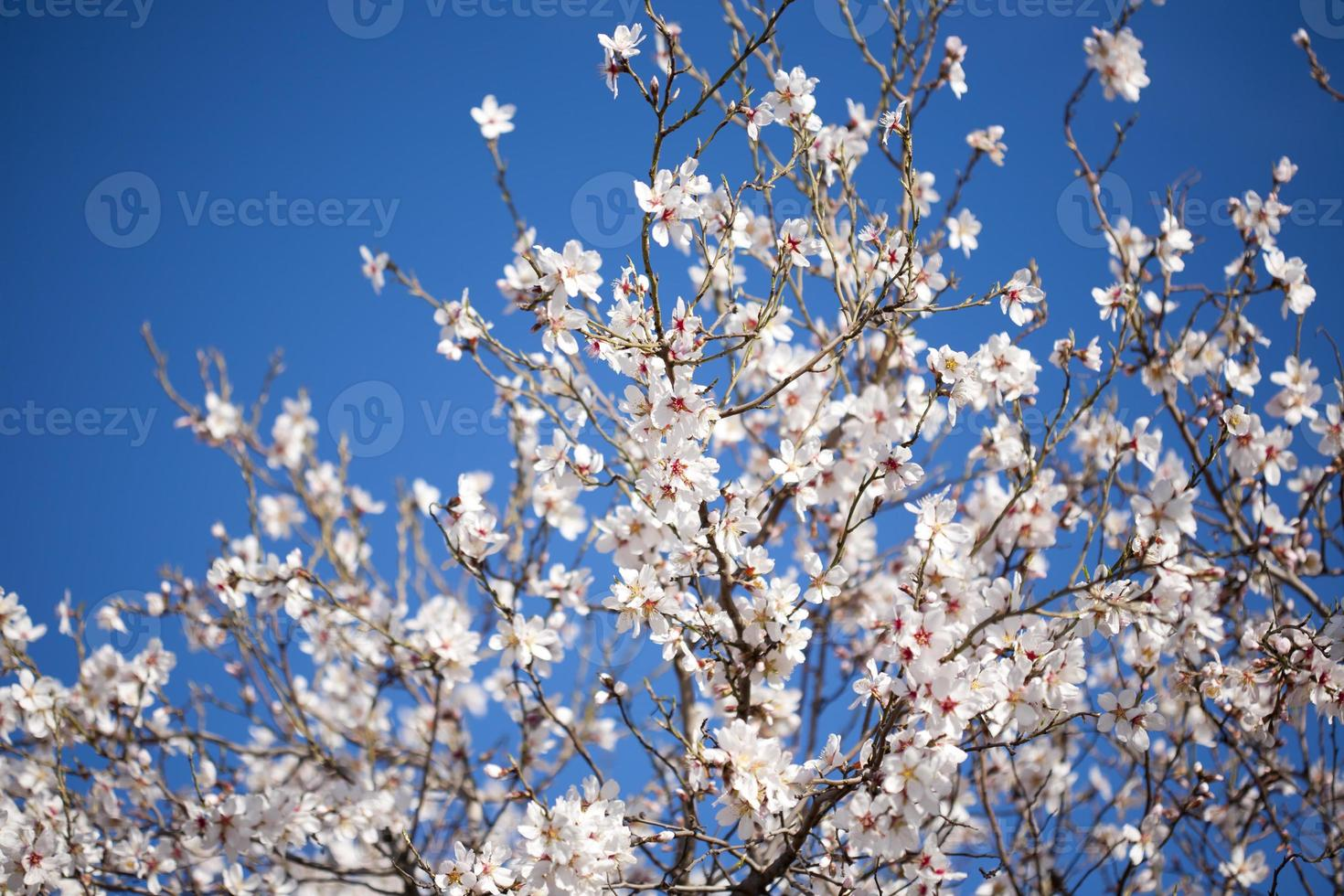 Cherry blossoms in tree against blue sky photo
