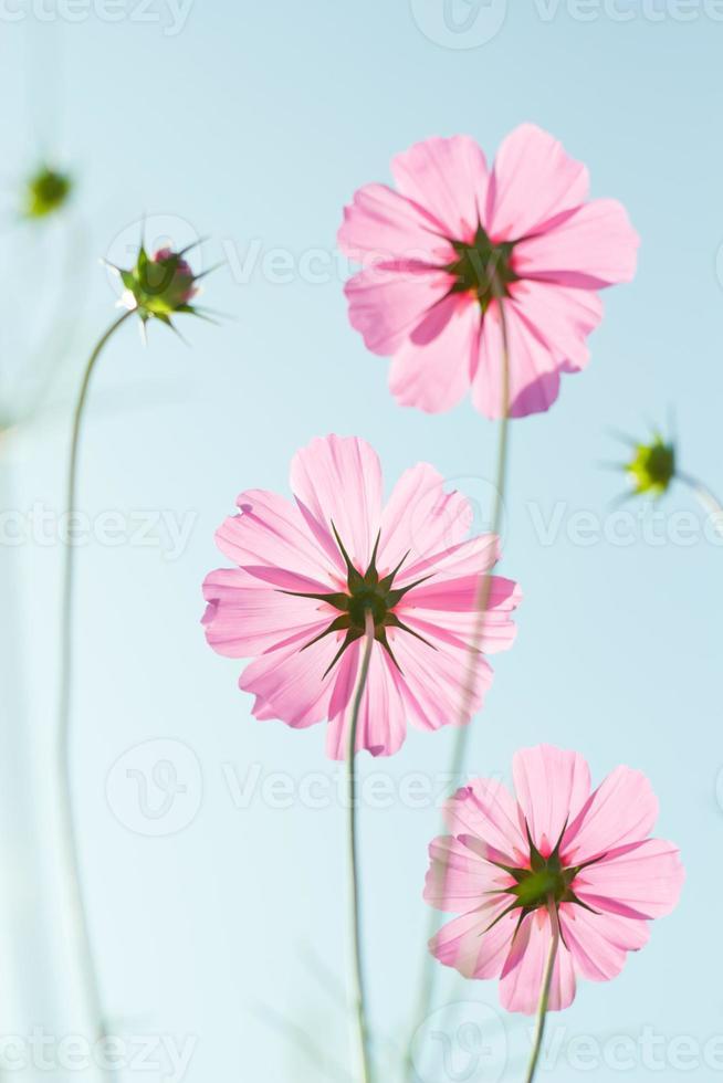 cosmos flores contra el cielo con filtro de color. foto
