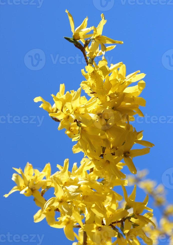 Rama de flor de escoba amarilla en primavera con cielo azul foto
