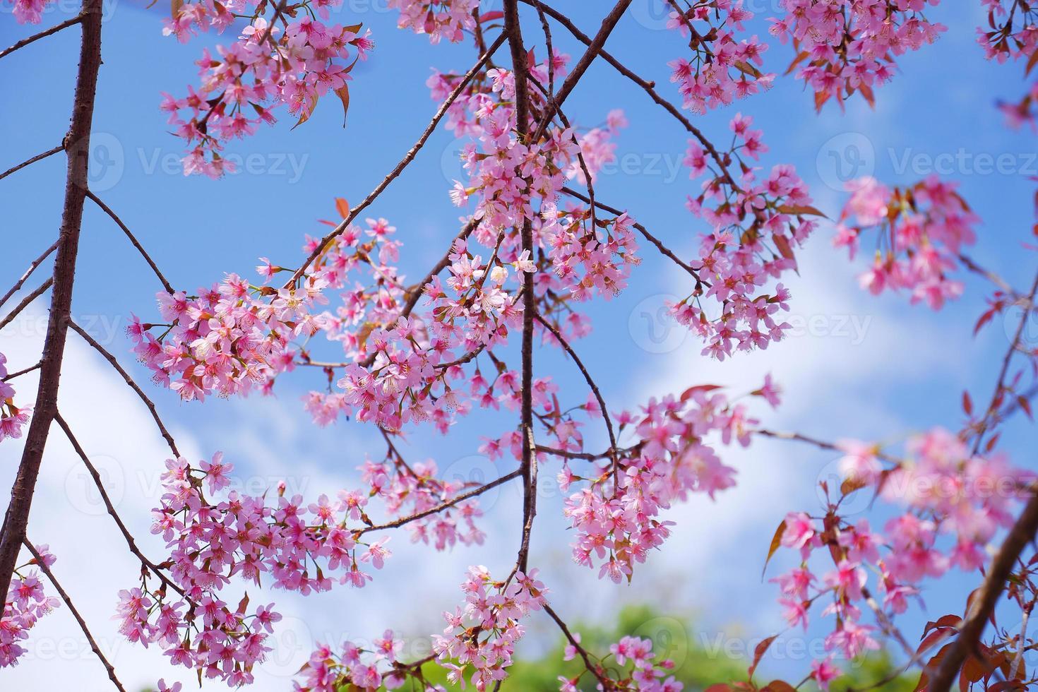 primavera rosa flores de cerezo con fondos de cielo azul foto