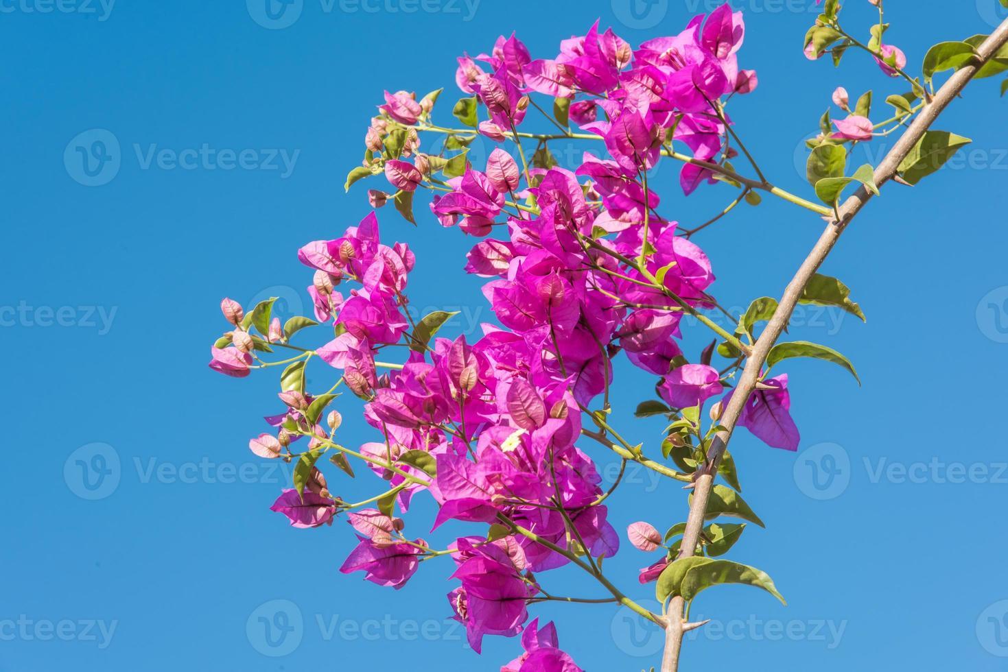 Rama de hermosas flores de buganvilla sobre fondo de cielo azul foto