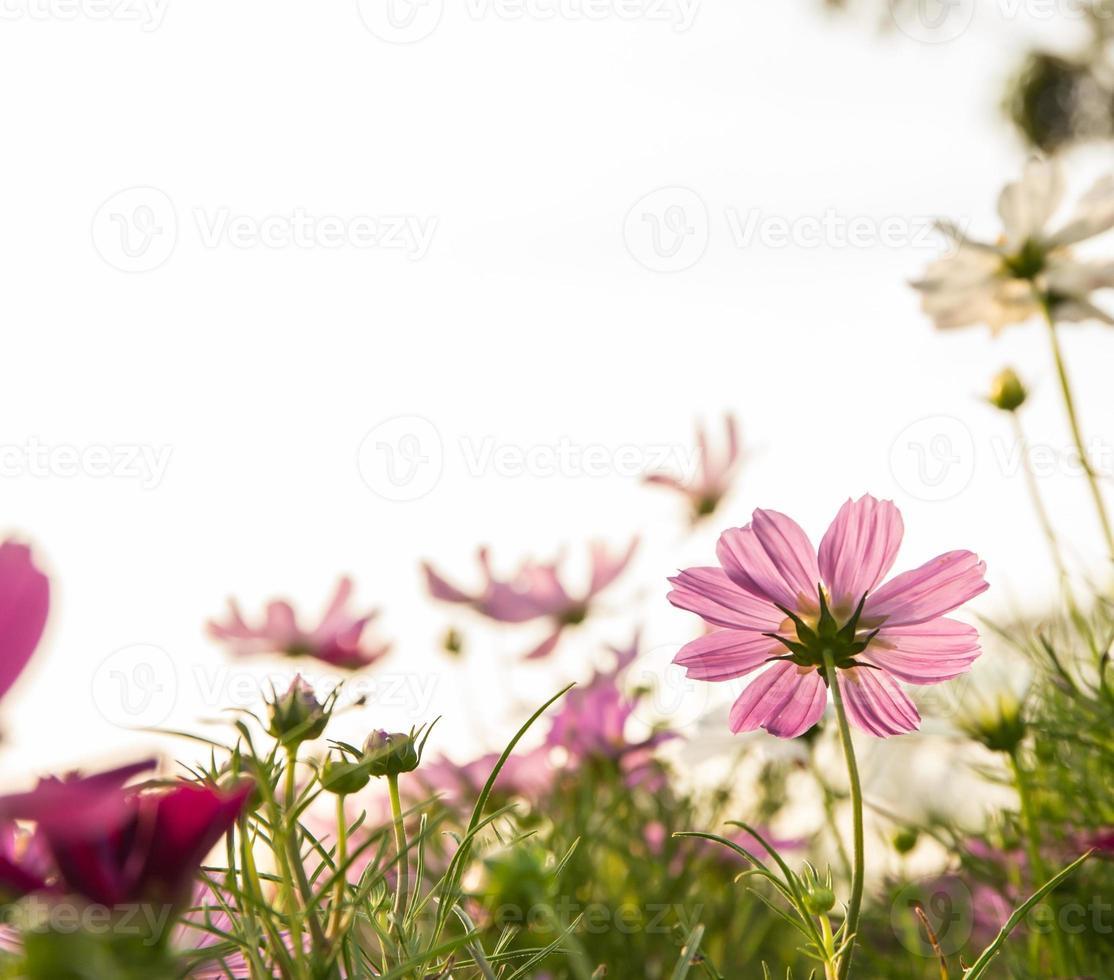c.sulphureus cav. o cosmos de azufre, flor y cielo azul foto