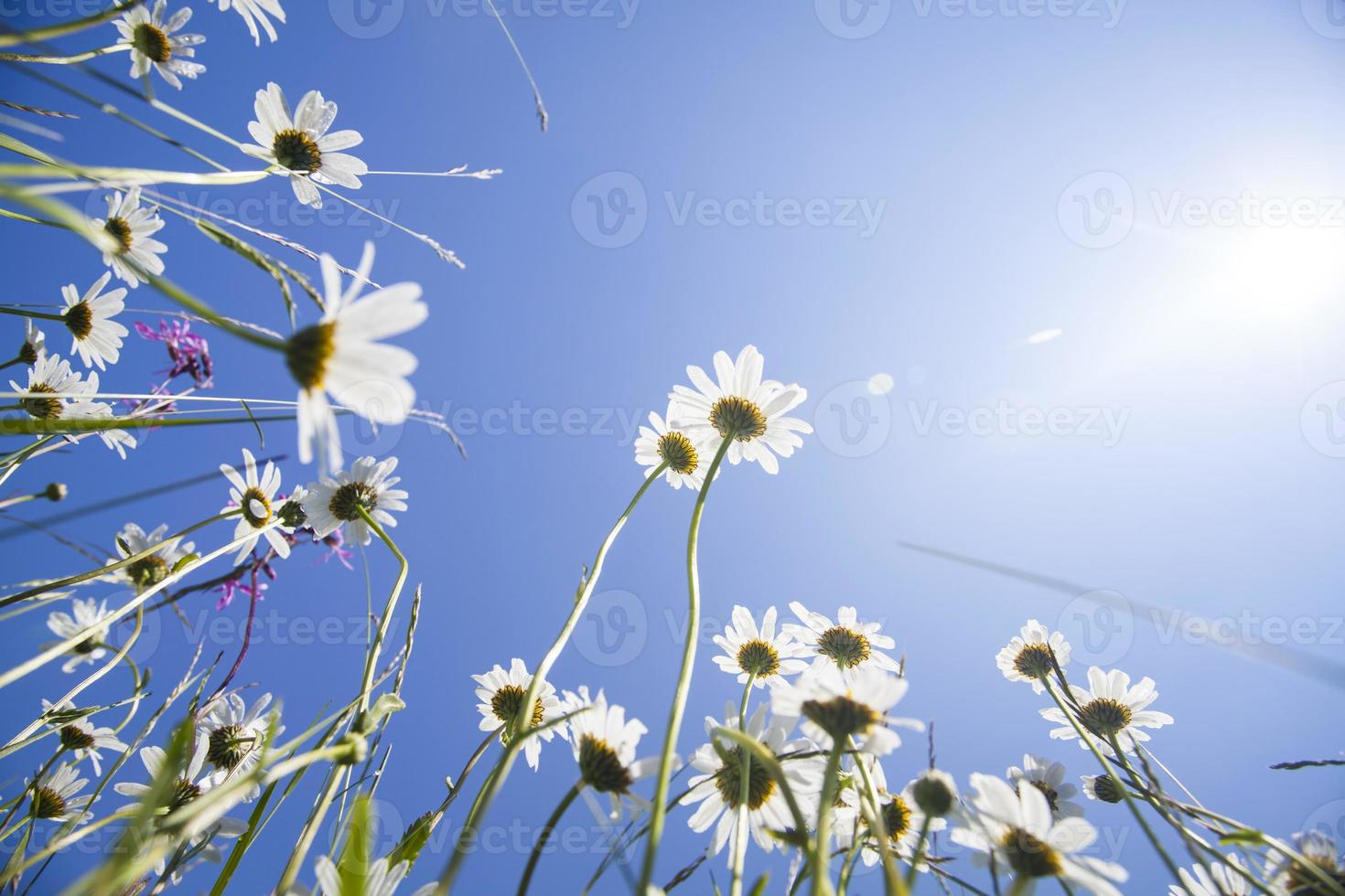 Beautiful white daisies and blue sky photo