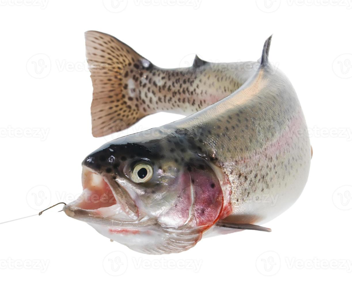Rainbow trout on a hook photo