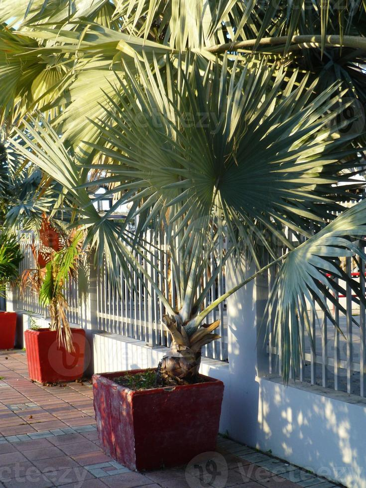 Silver Dollar Palm Tree photo