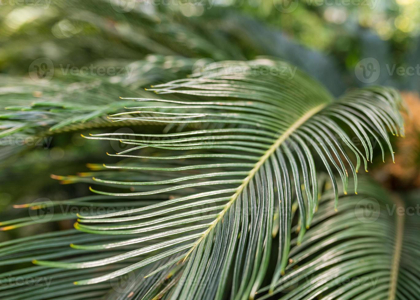 Closeup of sago palm leaves. photo