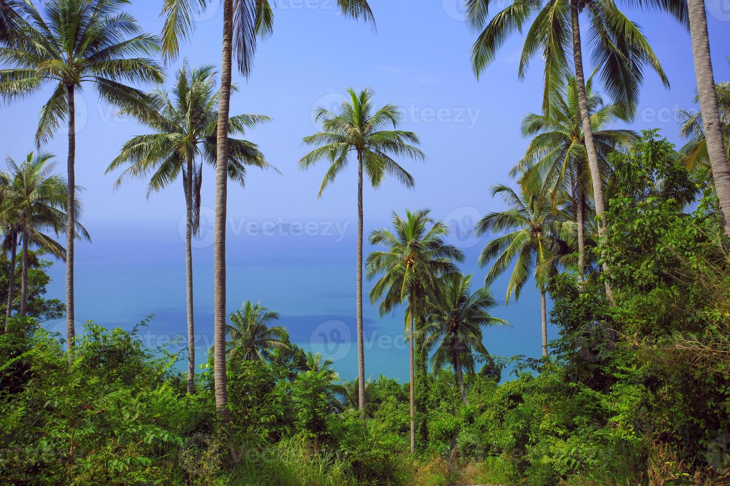 Palm tree with sunny day. Jungle of Thailand. Koh Samui photo
