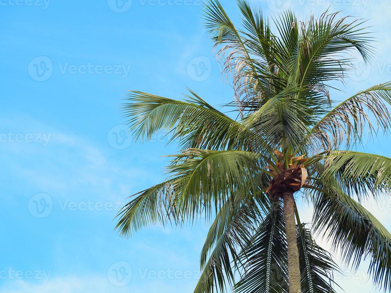 Coconut trees in the tropics photo