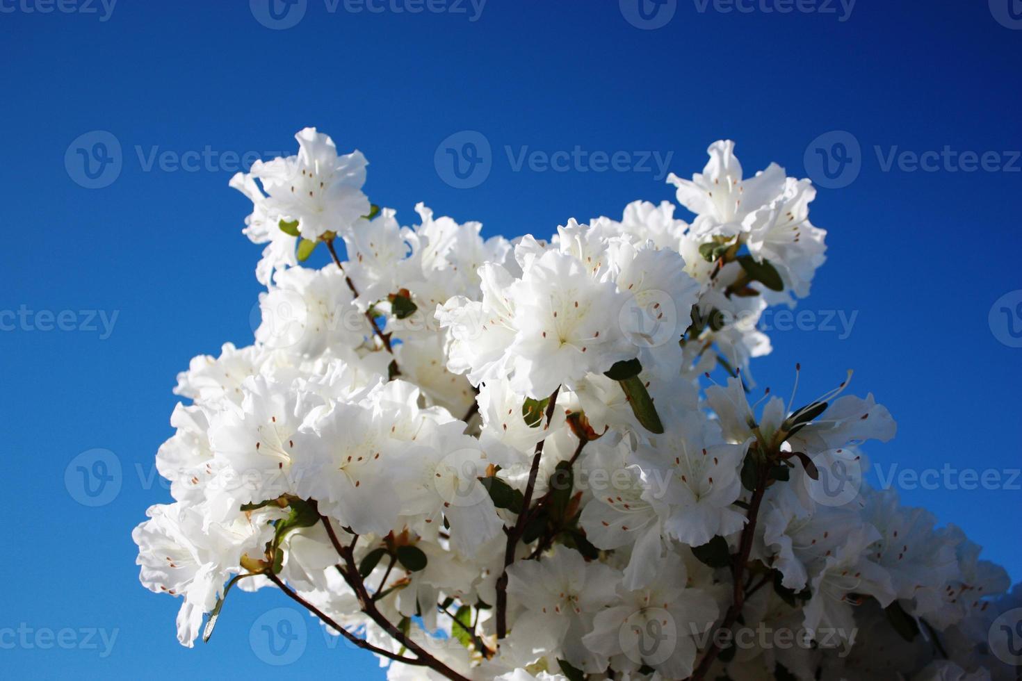 "Japanese Azalea white ""snowstorm"" under blue sky close up photo"